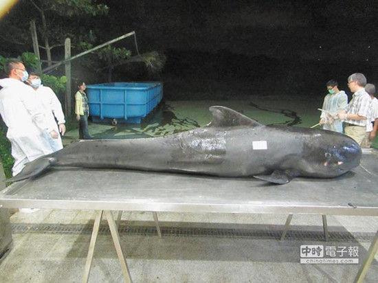 一只短肢领航鲸上月26日在台中港区搁浅,抢救5天仍死亡,工作人员解剖发现,它的胃部塞满10公升